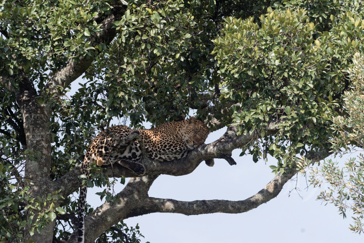 Leopard - Kenya Wildlife Safari