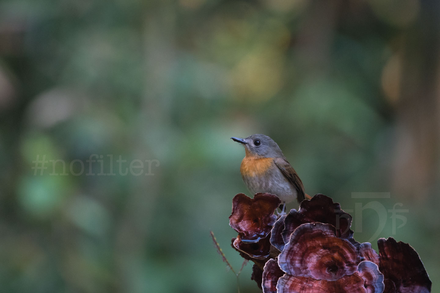 Female White Bellied Blue Flycatcher