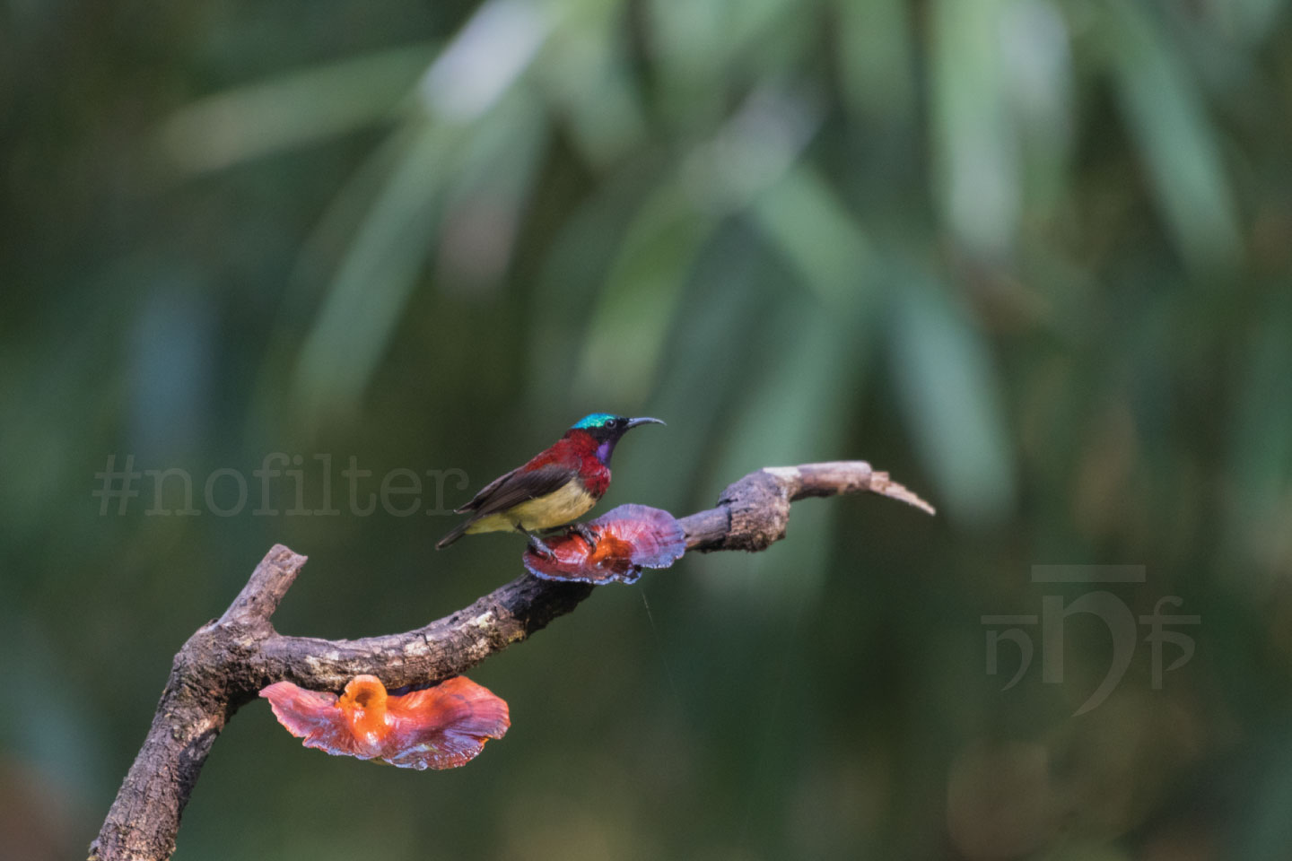 Male Crimson Backed Sunbird - Old Magazine House