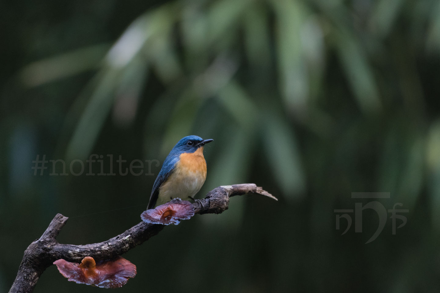 Tickells Blue Fly Catcher